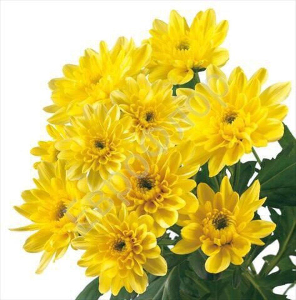 Цветы: Хризантема кустовая желтая в Николь, магазины цветов
