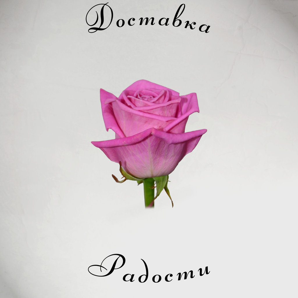 Роза розовая 70 см в Доставка Радости