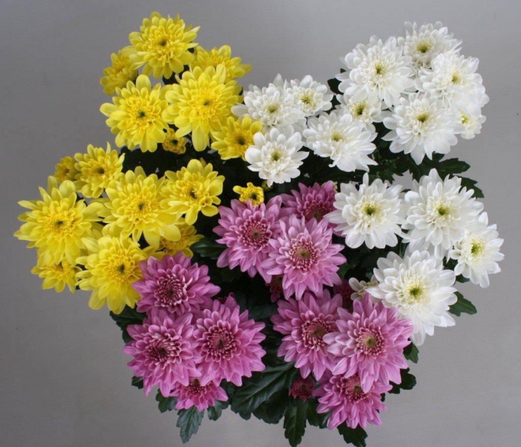 Цветы: Хризантема кустовая в Николь, магазины цветов