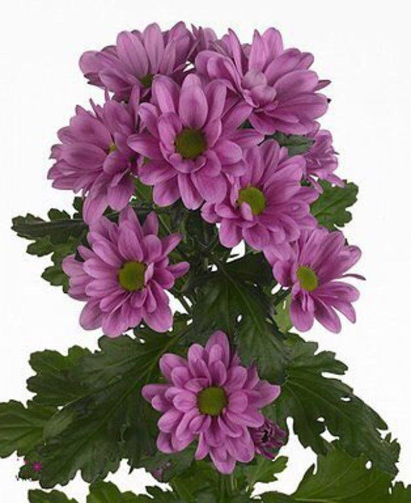 Хризантема кустовая в Николь, магазины цветов