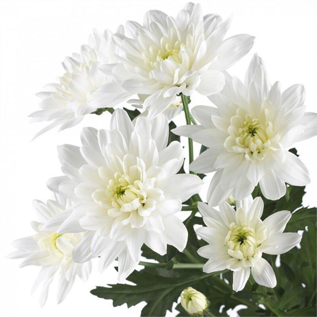 Цветы: Хризантема кустовая белая в Николь, магазины цветов