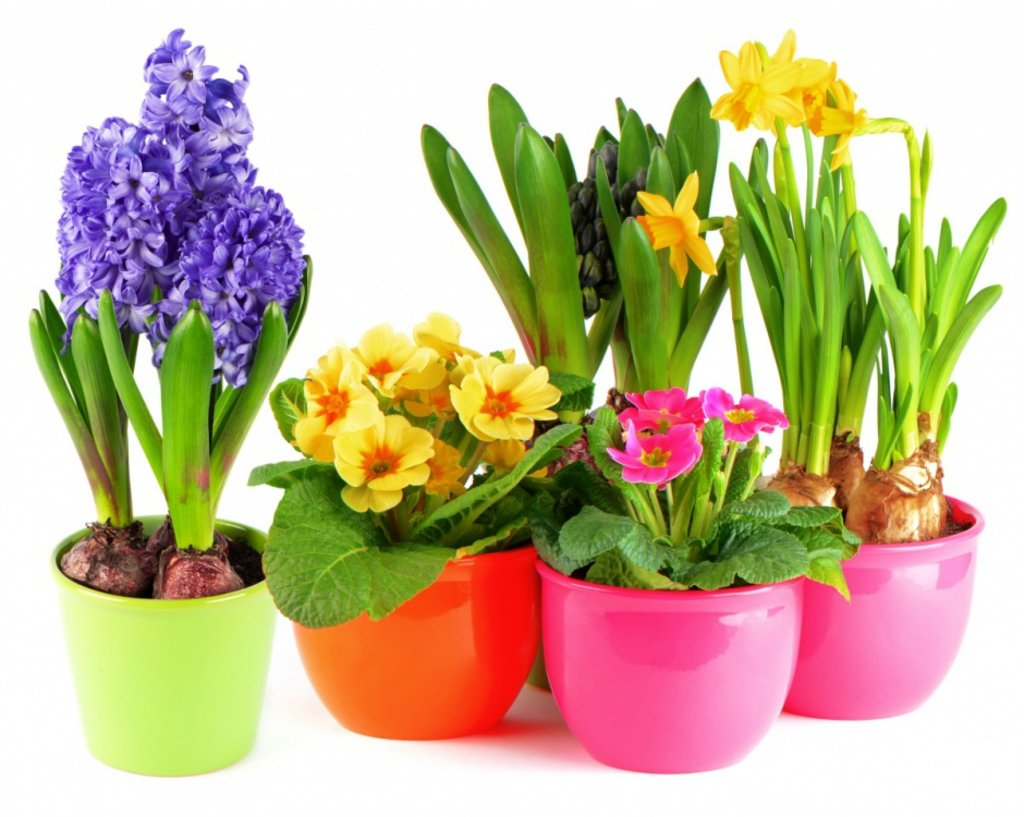 Цветы, деревья, кустарники: Цветы в горшках в Монстэра, Тепличное хозяйство