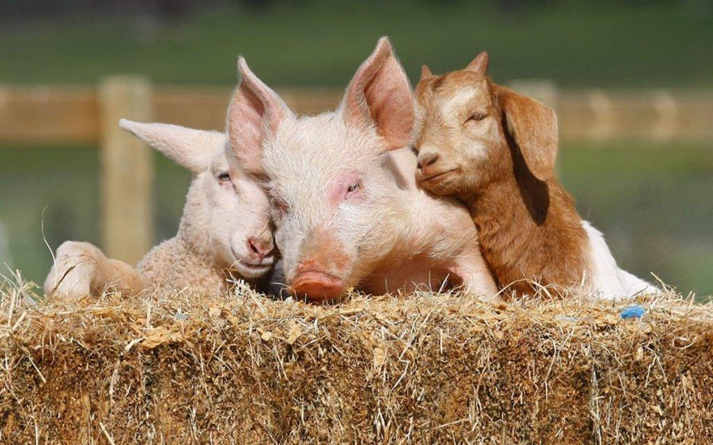 Помощь сельскохозяйственным животным в Ветдоктор