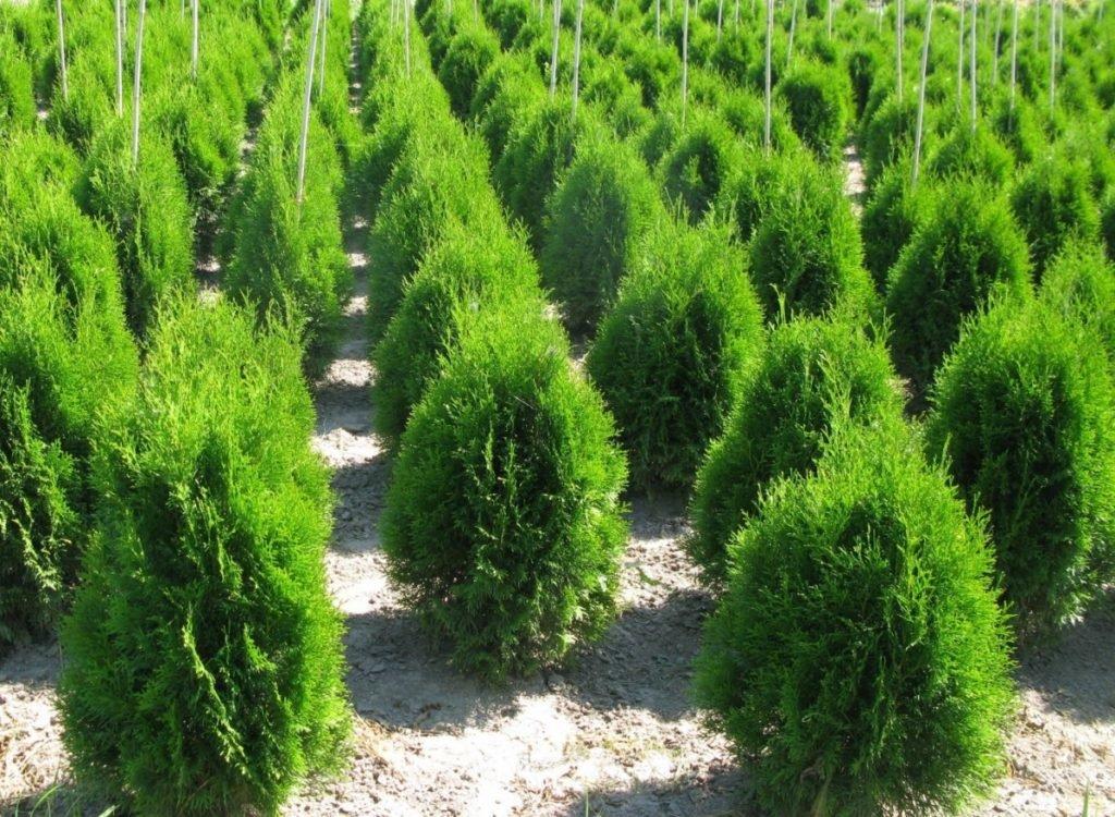 Цветы, деревья, кустарники: Хвойные кустарники в Монстэра, Тепличное хозяйство