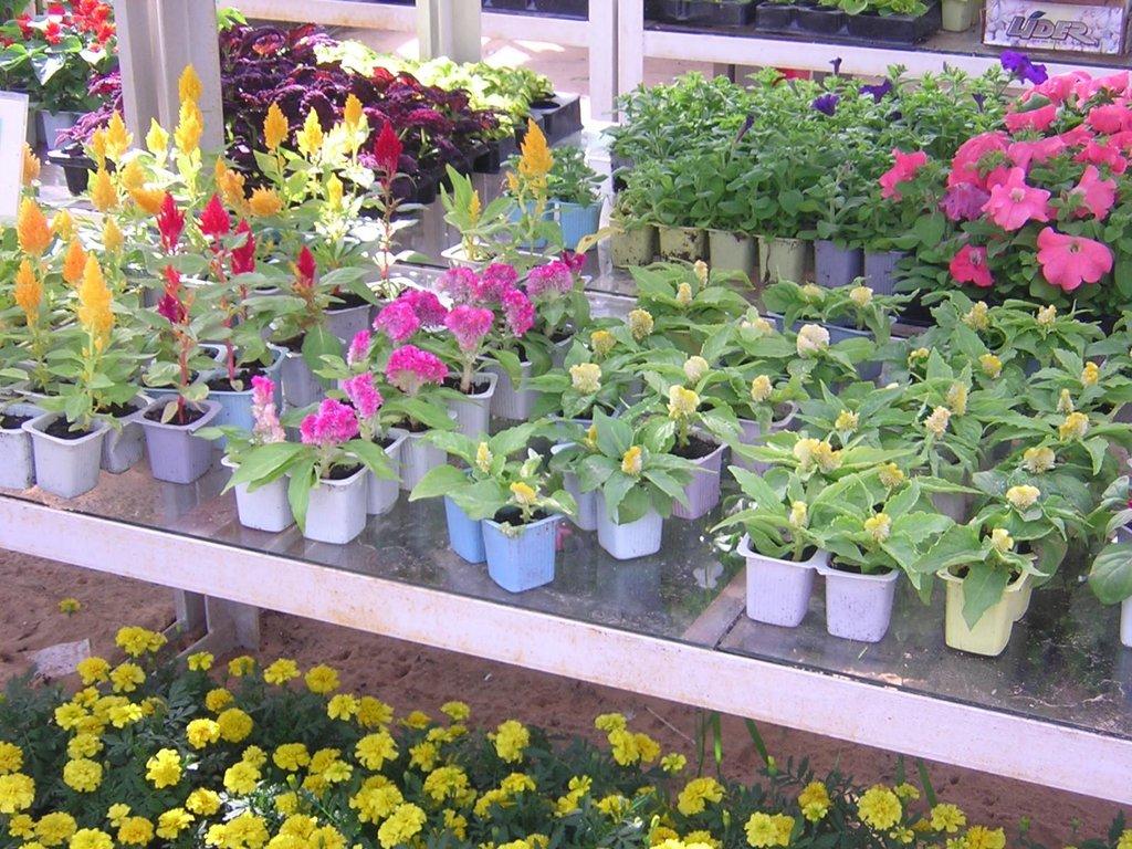 Цветы, деревья, кустарники: Рассада цветов в Монстэра, Тепличное хозяйство