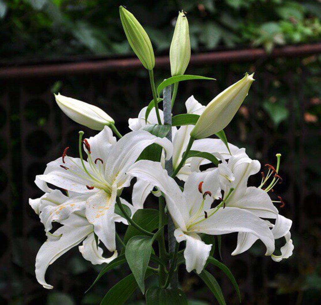 Цветы: Лилия кустовая в Николь, магазины цветов