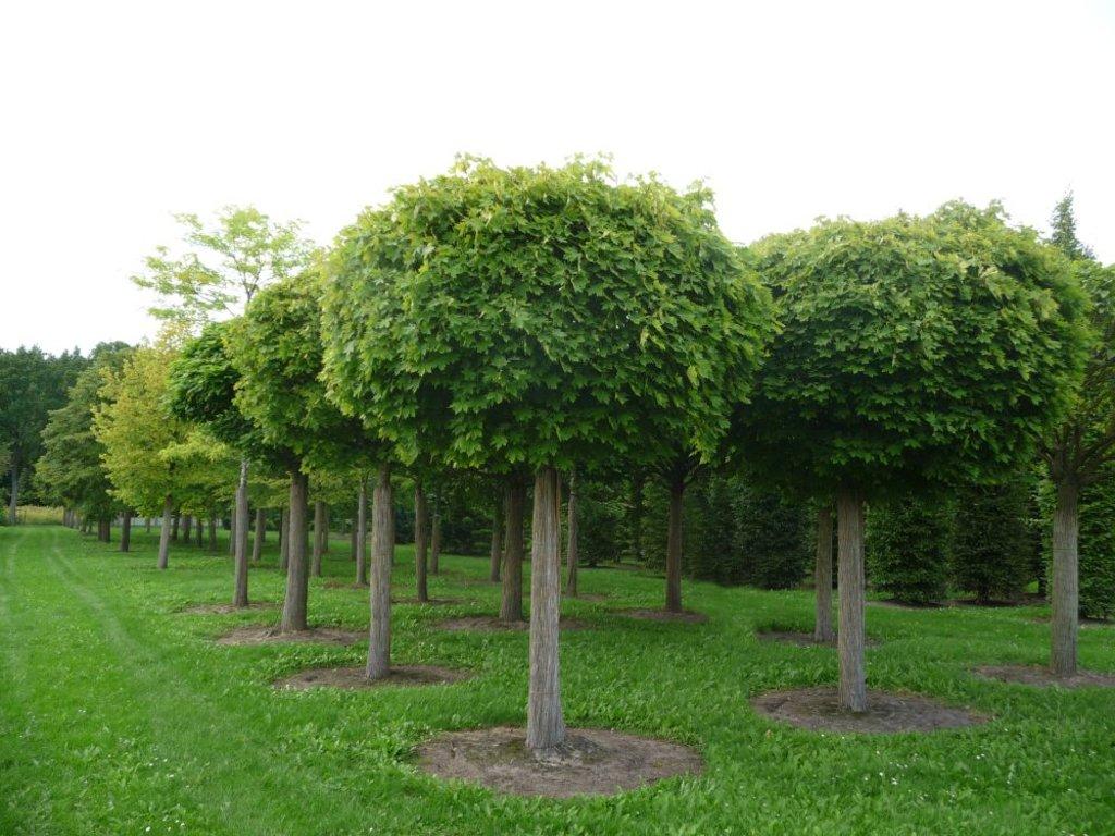 Цветы, деревья, кустарники: Лиственные деревья в Монстэра, Тепличное хозяйство